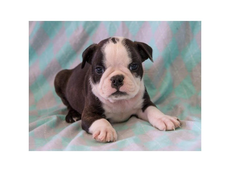 F1B English Boston Bulldog – Hippo
