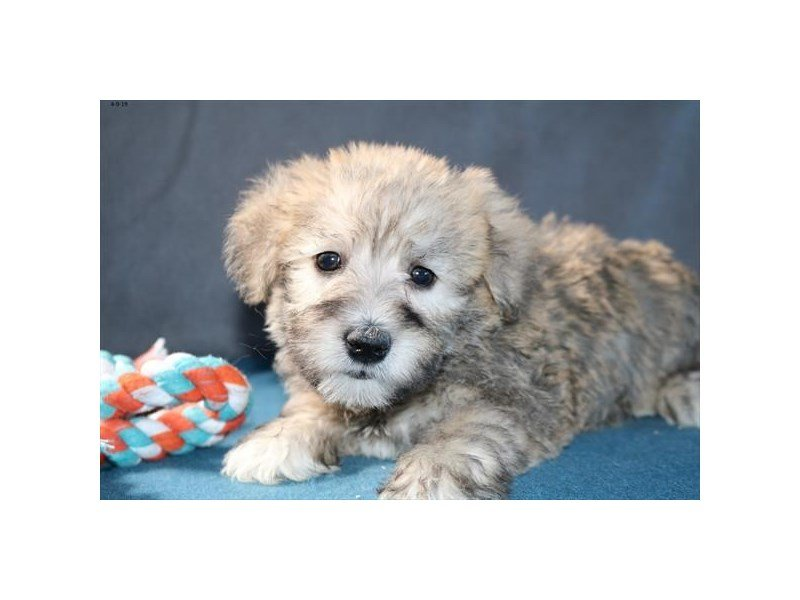 Schnoodle-Male-Sable-2333244-The Barking Boutique