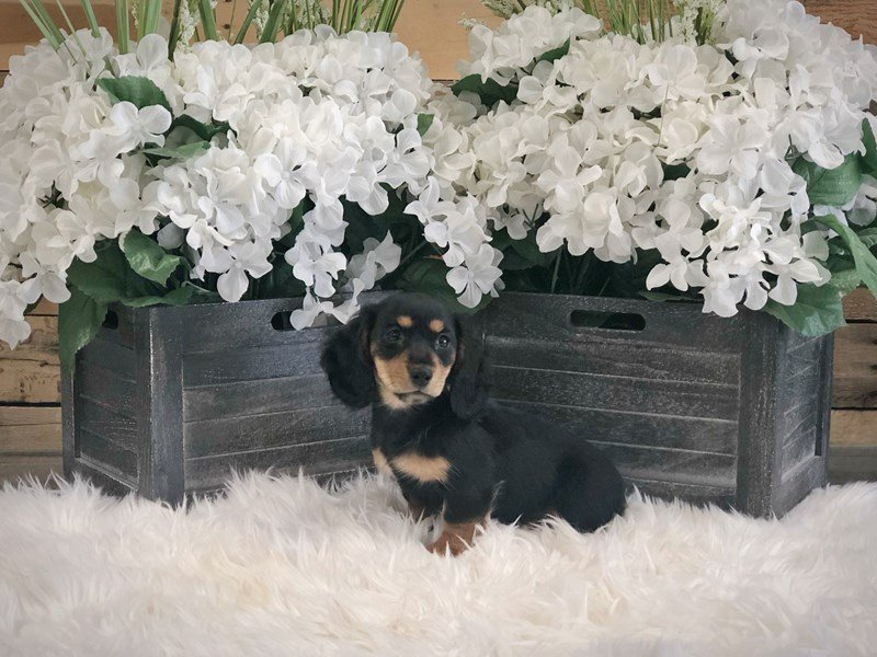 Miniature Dachshund-Female-Black / Tan-2333215-The Barking Boutique