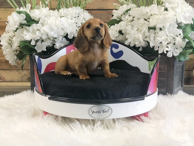 Miniature Dachshund-Female-Red-2333214-The Barking Boutique