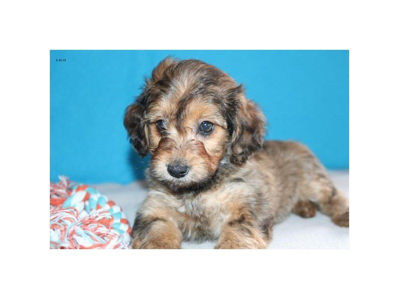 Doxipoo-Female-Sable-2338154-The Barking Boutique