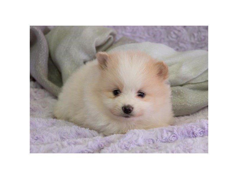 Pomeranian-Female-Cream / White-2338156-The Barking Boutique