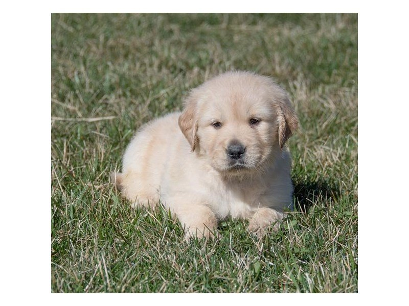 Golden Retriever-Male-Cream-2343818-The Barking Boutique