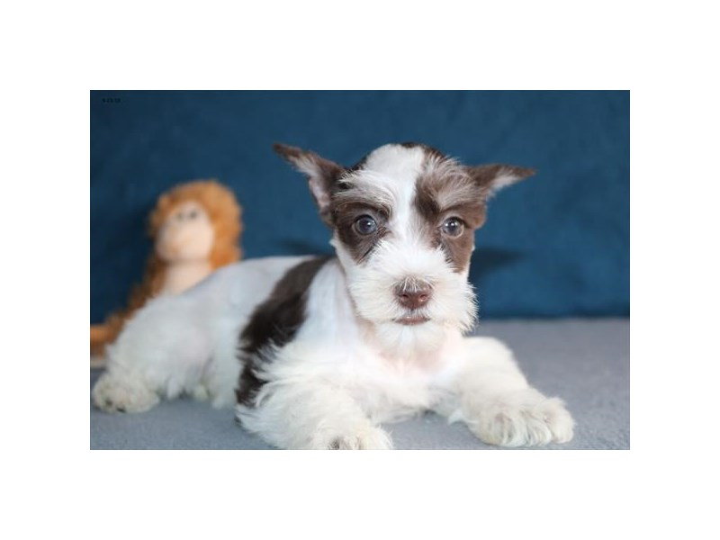 Miniature Schnauzer-Female-Chocolate / White-2343821-The Barking Boutique