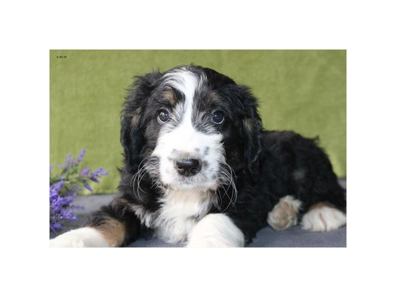 Bernadoodle-Female-Black Tan / White-2349468-The Barking Boutique