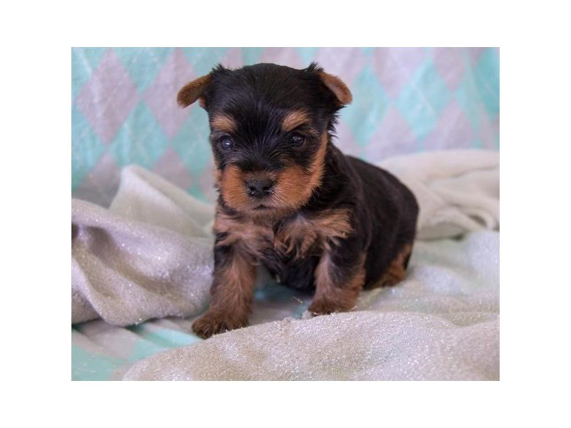 Yorkshire Terrier-Male-Black / Tan-2349472-The Barking Boutique