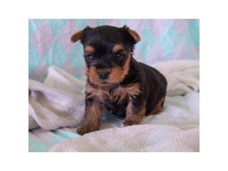Yorkshire Terrier – Gremlin