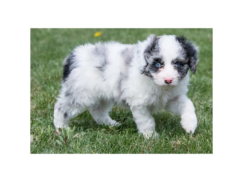 Australian Shepherd/Poodle-Female-Blue Merle-2349519-The Barking Boutique