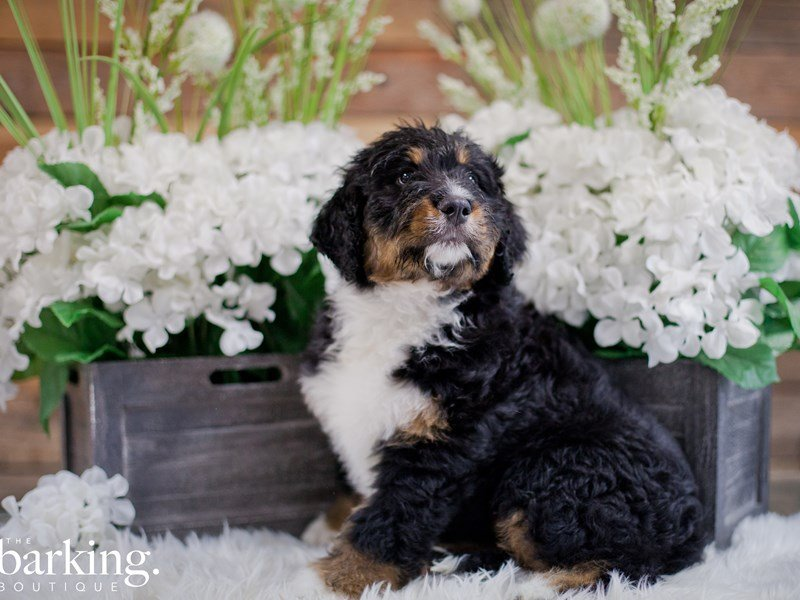 Bernadoodle-Female-Black Tri Color-2346756-The Barking Boutique