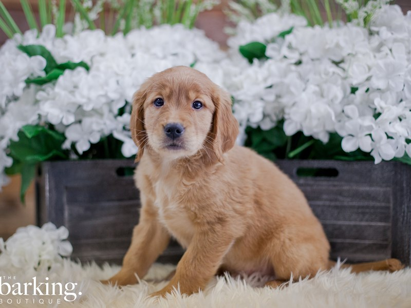 Golden Retriever-Male-Red-2346710-The Barking Boutique