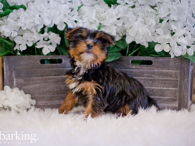 Yorkshire Terrier-Male-Black and Tan-2346647-The Barking Boutique