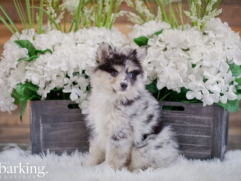Pomsky-Male-Blue Mrl & White-2346804-The Barking Boutique