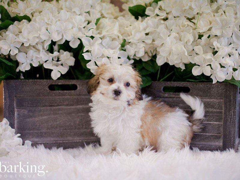 Maltipoo-Male-Red and White-2346740-The Barking Boutique
