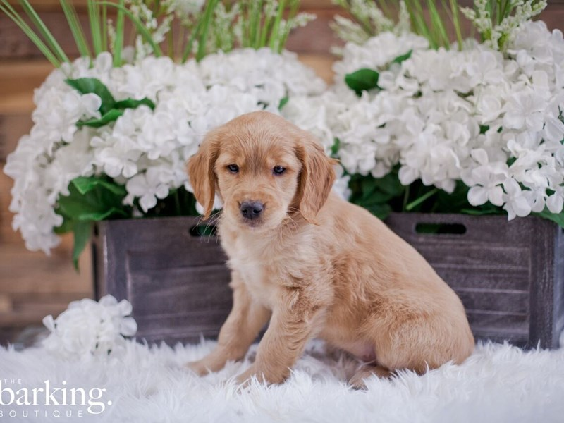 Golden Retriever-Female-Red-2346683-The Barking Boutique