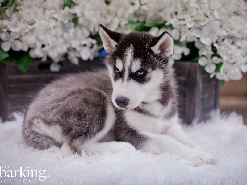 Siberian Husky-Female-Black / White-2349469-The Barking Boutique