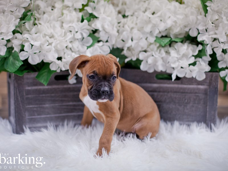 Boxer-Female-Fawn-2349467-The Barking Boutique