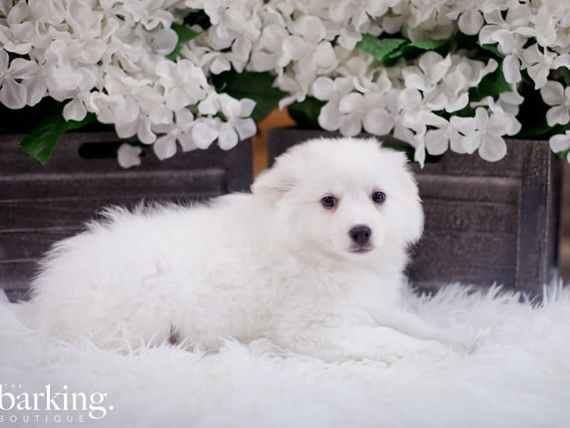 American Eskimo/Alaskan Klee Kai-Female-White-2349521-The Barking Boutique