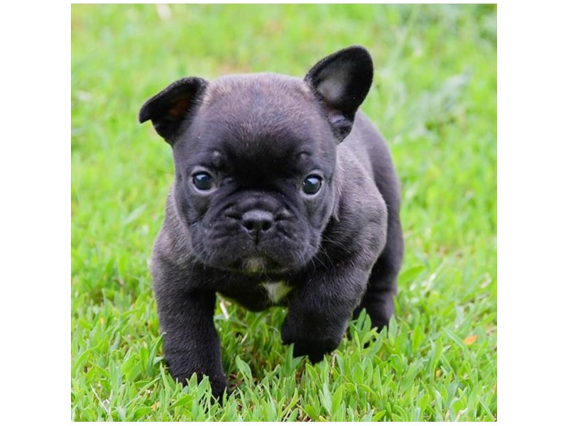 French Bulldog-Female-Brindle-2355087-The Barking Boutique