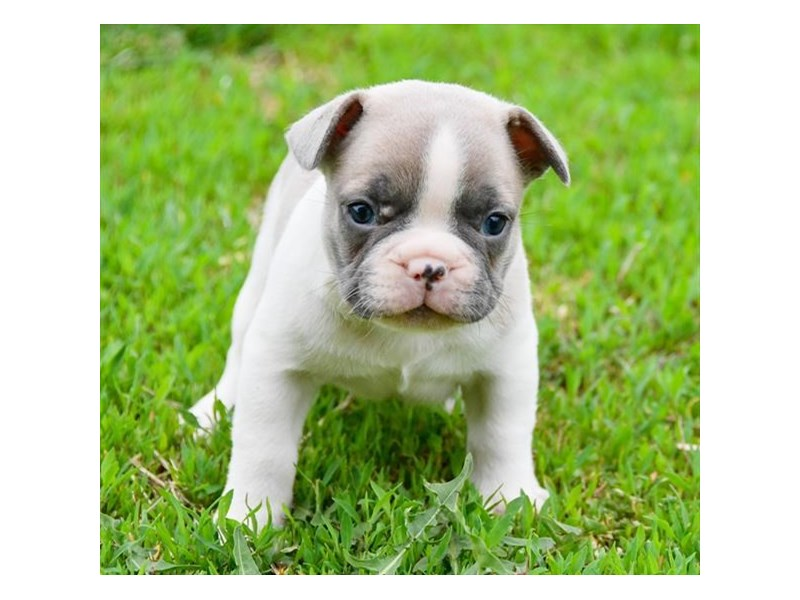 French Bulldog-Male-Blue Fawn-2355089-The Barking Boutique