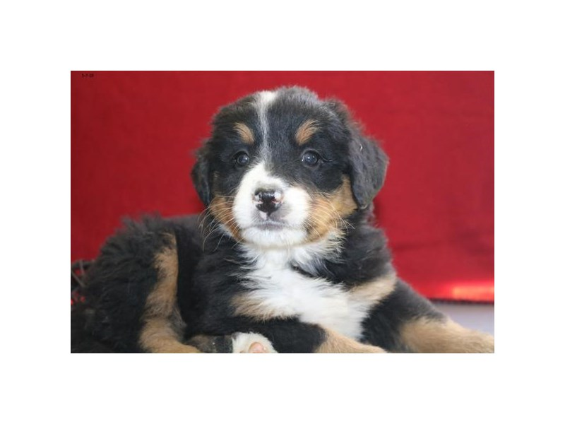 Bernese Mountain Dog-Female-Black Rust / White-2355092-The Barking Boutique