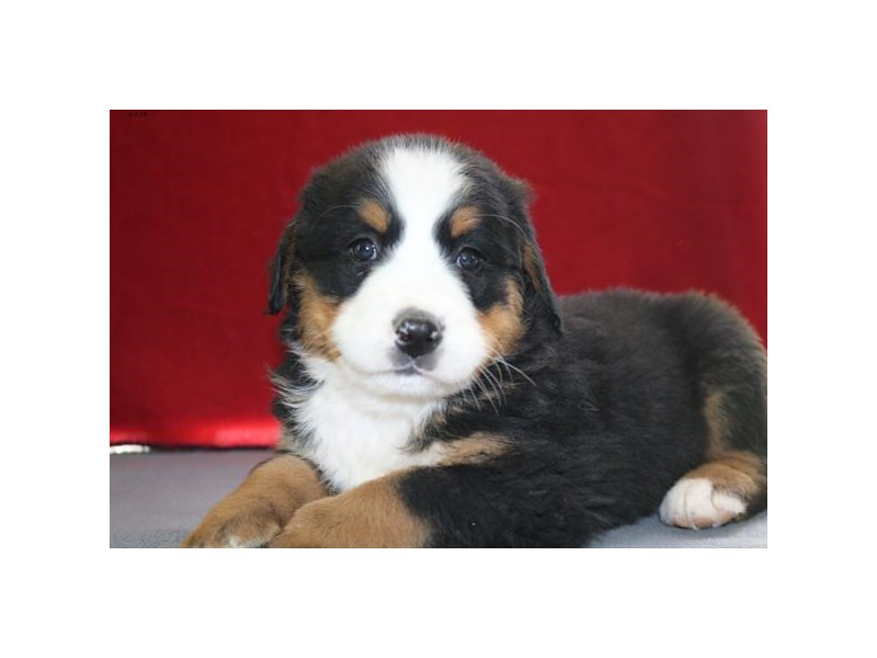 Bernese Mountain Dog-Female-Black Rust / White-2355093-The Barking Boutique