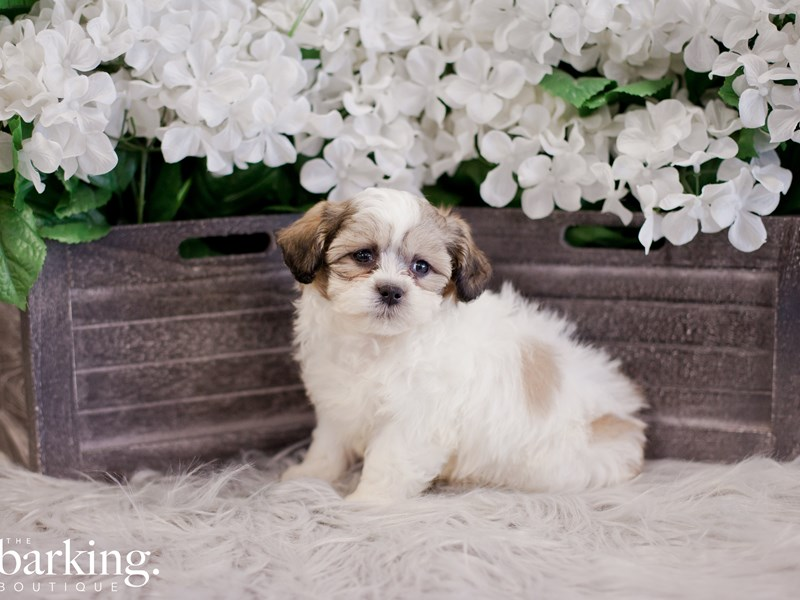 Zuchon-Male-Brown / White-2355138-The Barking Boutique