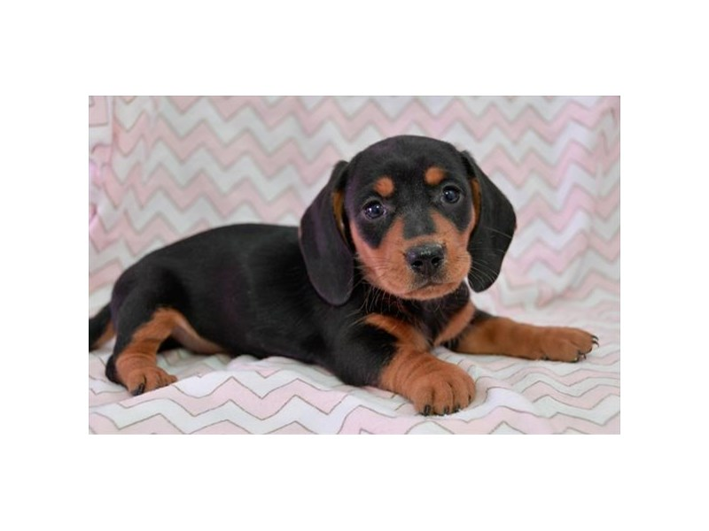 Miniature Dachshund-Female-Black / Tan-2360212-The Barking Boutique
