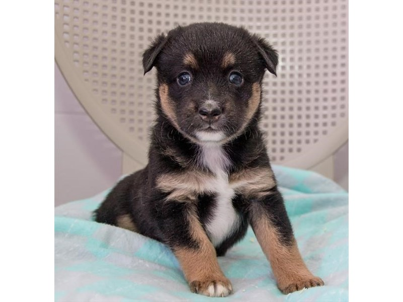 Miniature Australian Shepherd/Alaskan Klee Kai-Female-Black-2360268-The Barking Boutique