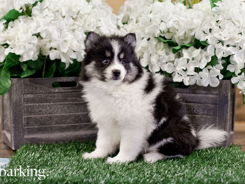 Pomsky-Female-Black / White-2322348-The Barking Boutique