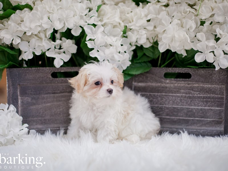 Bichon Frise-Male-White-2343851-The Barking Boutique