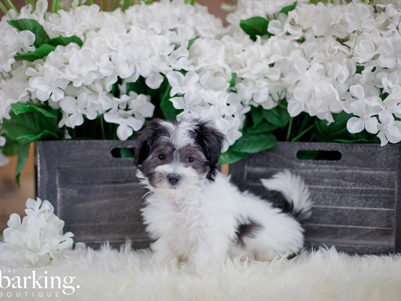 Maltipoo-Female-Black and White-2346591-The Barking Boutique