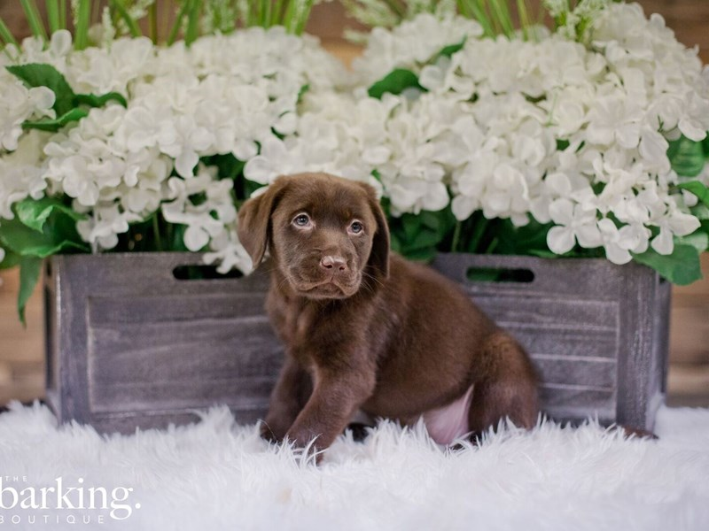 Labrador Retriever-Female-Chocolate-2343813-The Barking Boutique