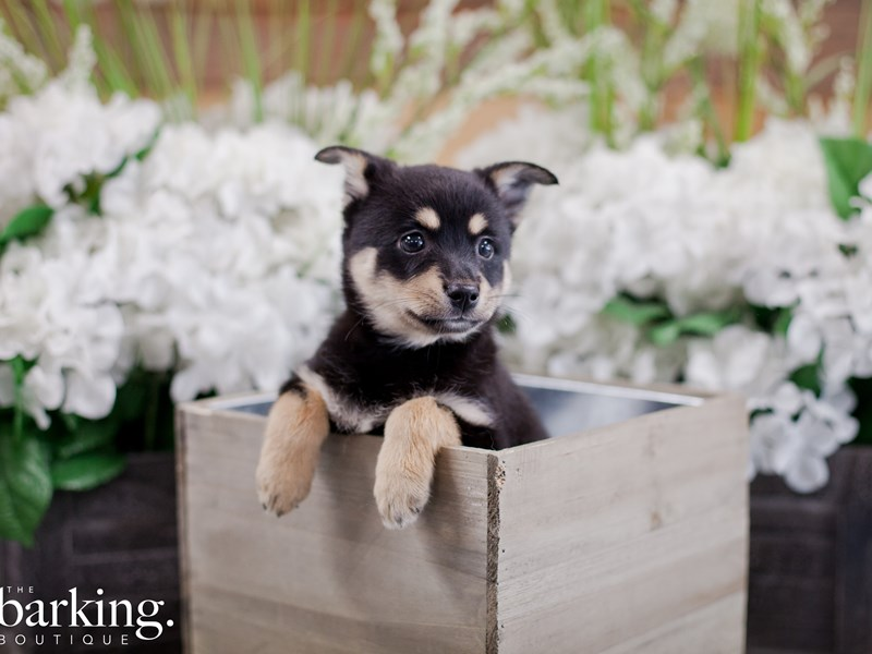 Miniature Australian Shepherd/Alaskan Klee Kai-Female-Black-2355134-The Barking Boutique