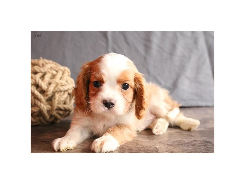 Cavalier King Charles Spaniel-Male-Blenheim-2360208-The Barking Boutique