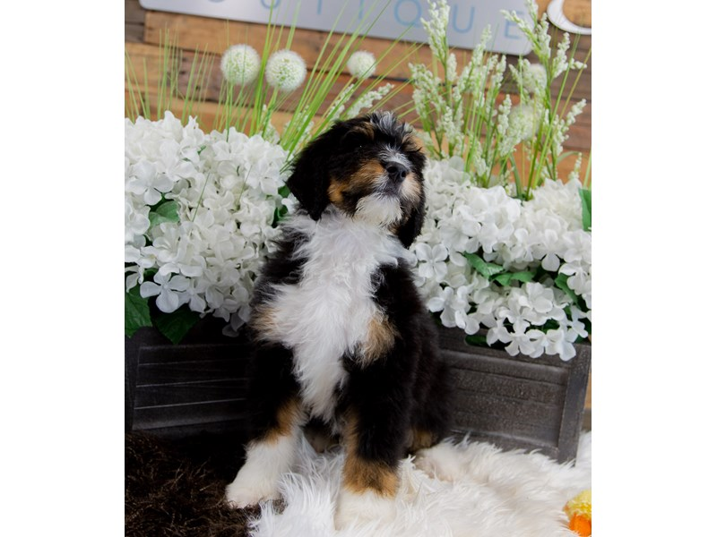 Bernadoodle-Male-Tricolor-2360007-The Barking Boutique