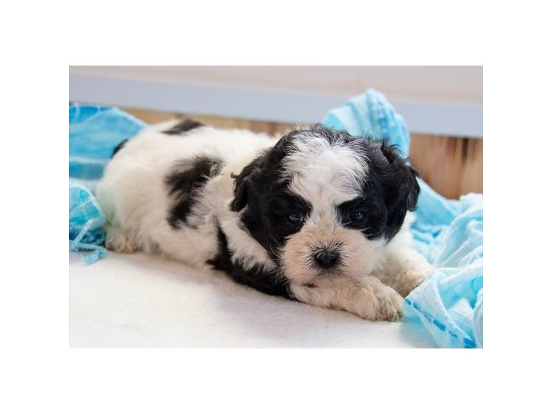 Teddy Bear-Male-Black / White-2364803-The Barking Boutique