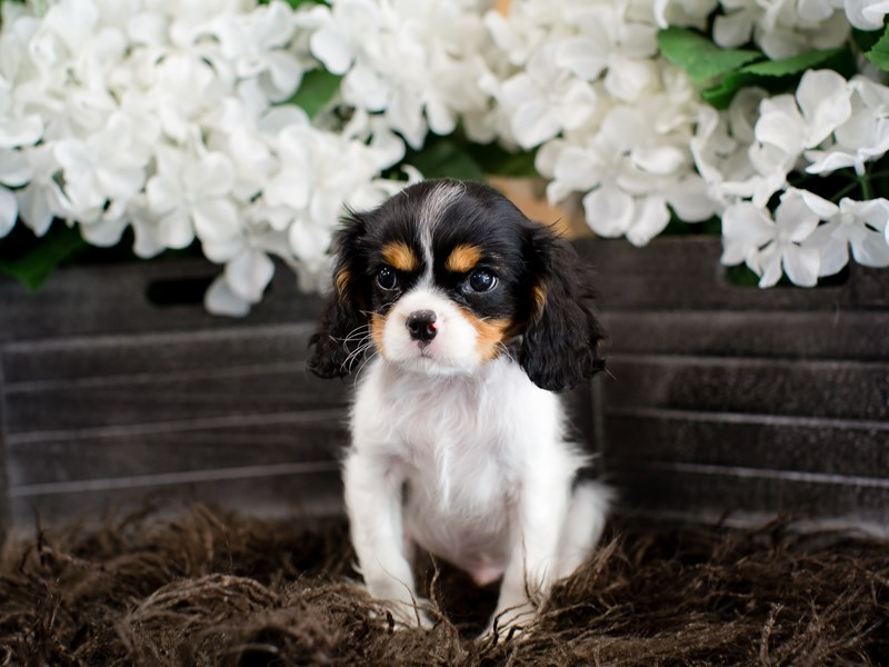 Cavalier King Charles Spaniel-Male-Tri-Colored-2364790-The Barking Boutique