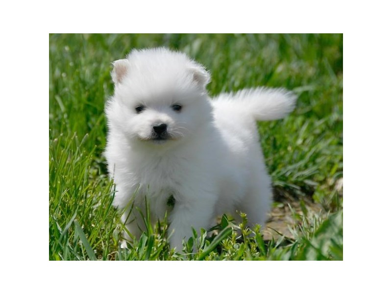 American Eskimo Dog-Male-White-2371276-The Barking Boutique
