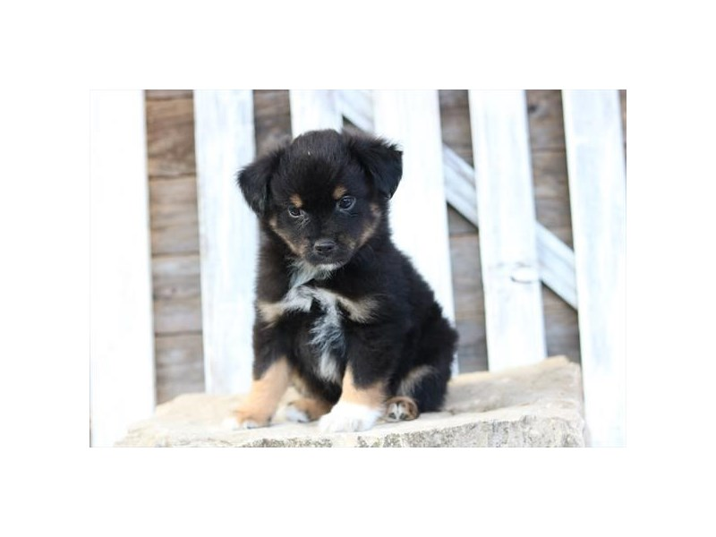 Miniature Australian Shepherd-Male-Black White / Tan-2371408-The Barking Boutique