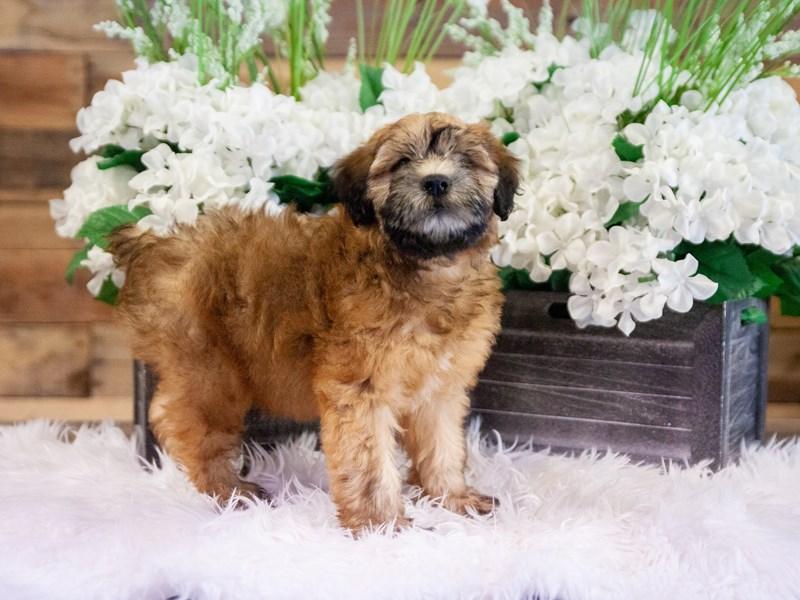 Soft Coated Wheaten Terrier – Ryker