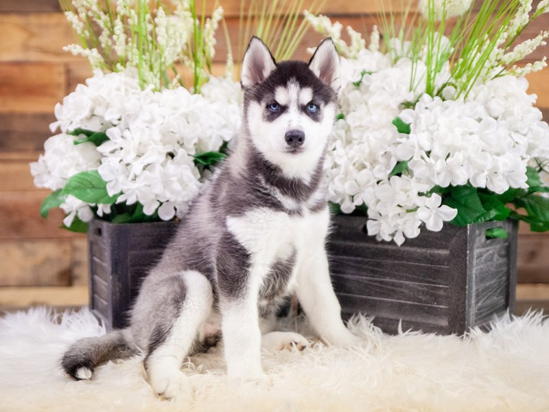 Siberian Husky-Female-Black / White-2371279-The Barking Boutique