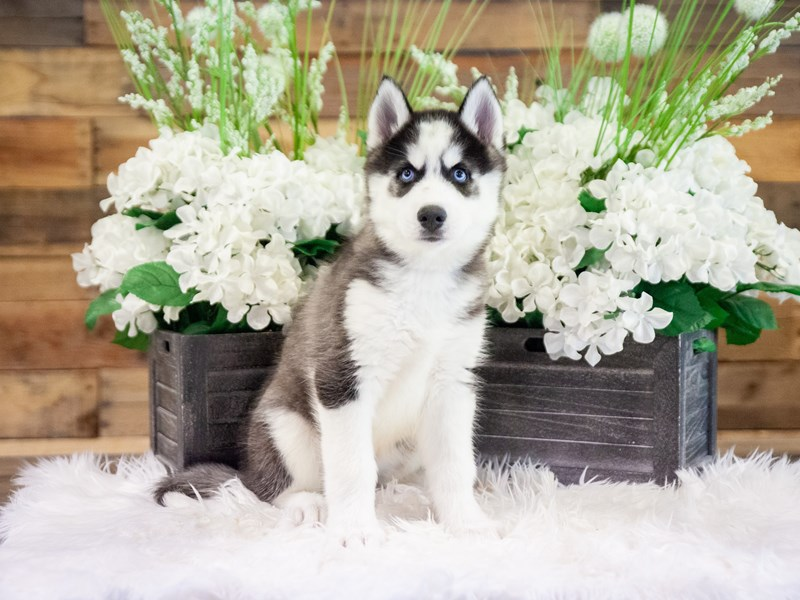 Siberian Husky-Male-Black / White-2371280-The Barking Boutique