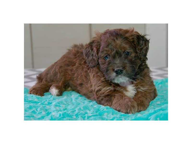 F1B Mini Goldendoodle-Male-Chocolate Merle-2376810-The Barking Boutique