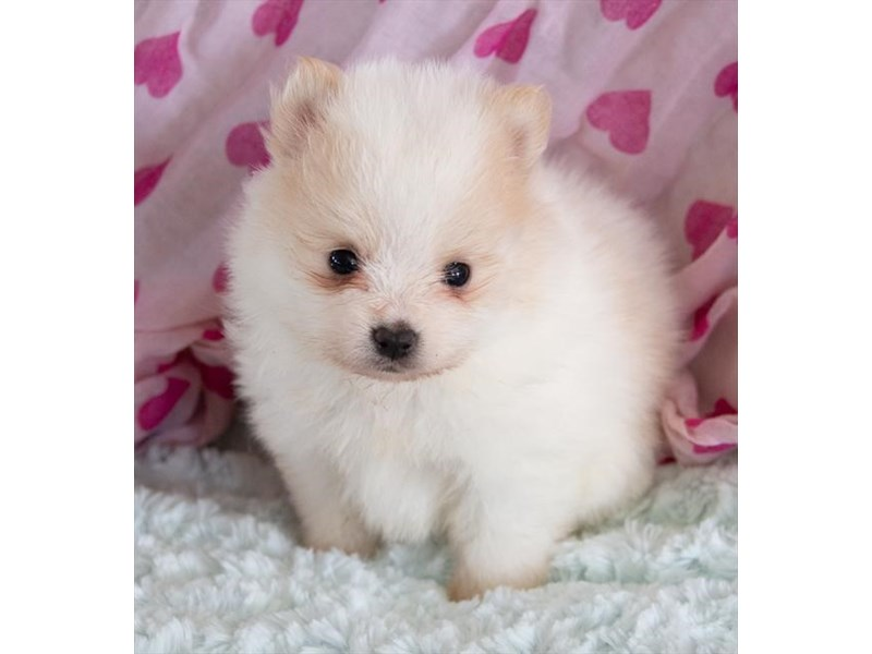 Pomeranian-Female-White / Cream-2376811-The Barking Boutique