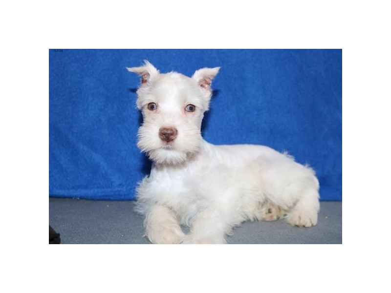 Miniature Schnauzer-Male-White-2355094-The Barking Boutique