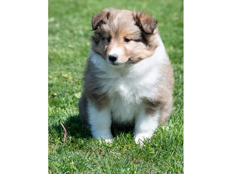 Shetland Sheepdog-Female-Sable / White-2360205-The Barking Boutique