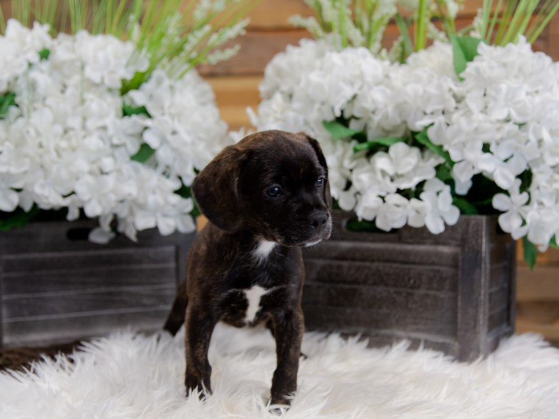 French Bulldog/Beagle-Female-Brindle-2360201-The Barking Boutique