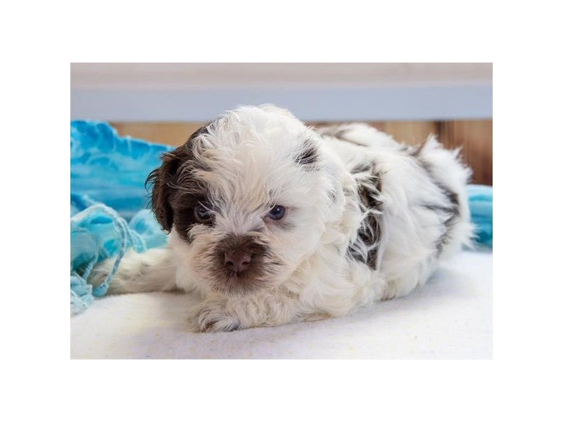 Havanese-Male-Chocolate / White-2364804-The Barking Boutique