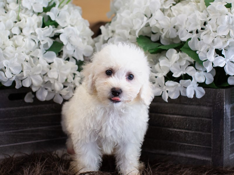 Poochon-Male-White-2364794-The Barking Boutique