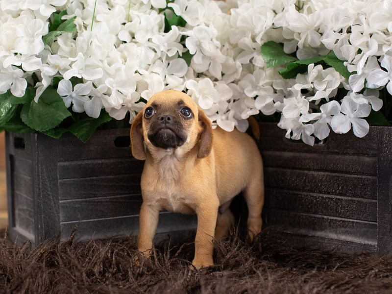 Puggle-Male-Fawn-2364799-The Barking Boutique